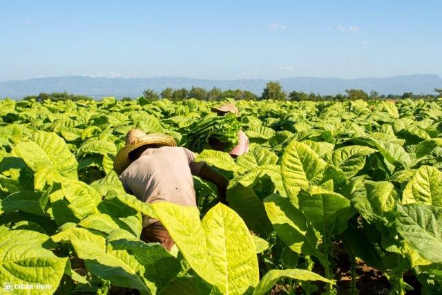 Harvesting tobacco General Cigar Dominicana