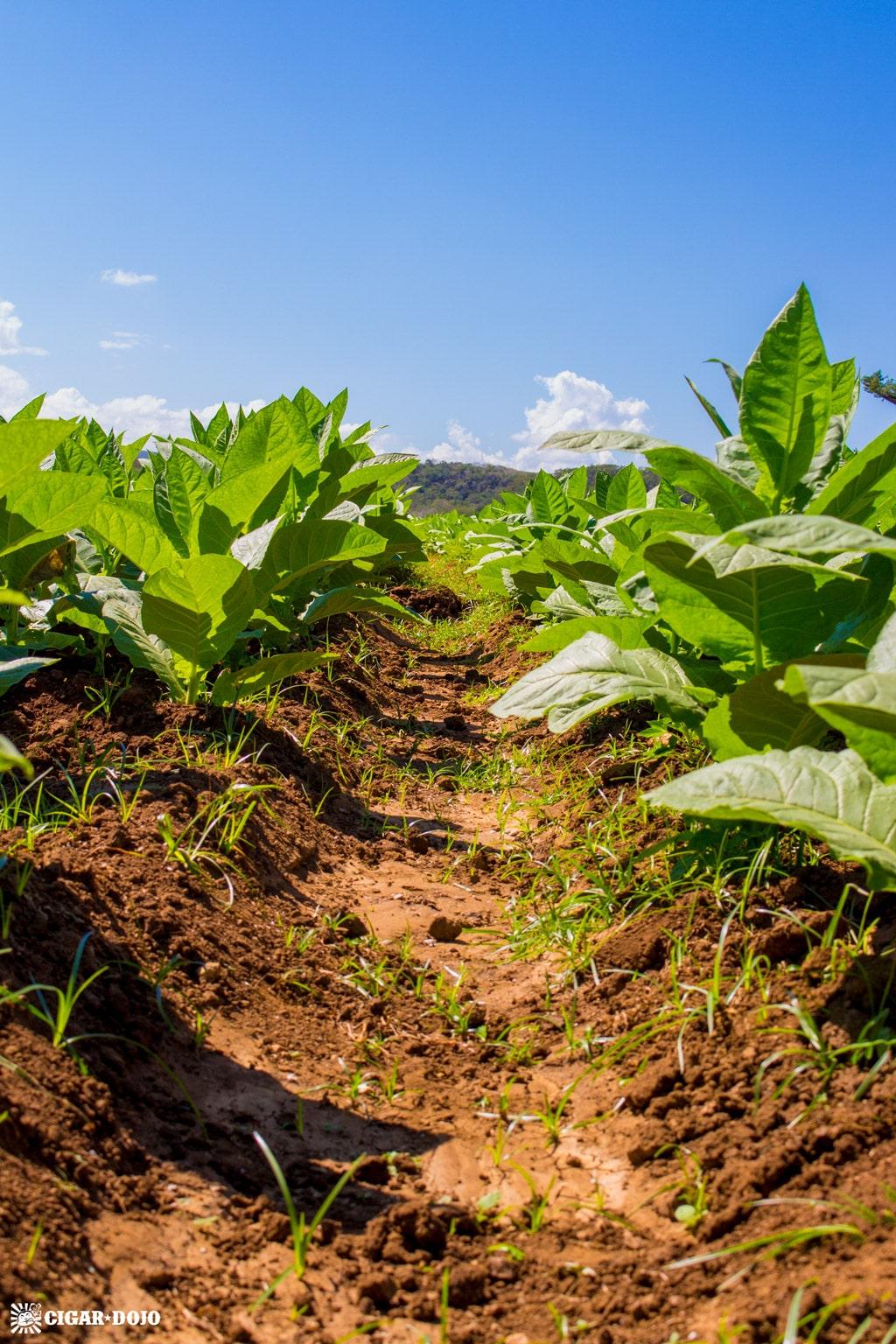 tobacco crop row General Cigar Dominicana