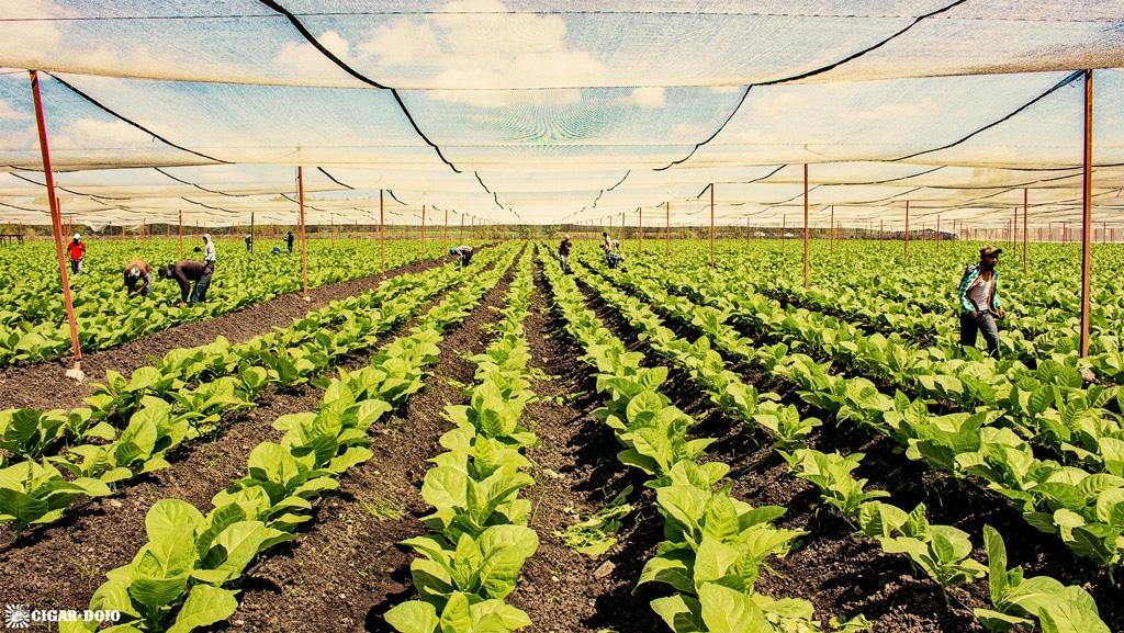 Estelí, Nicaraguan tobacco field