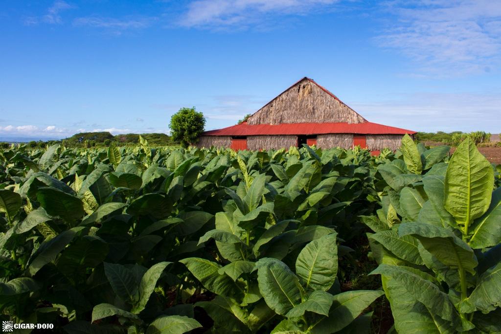 Davidoff tobacco field